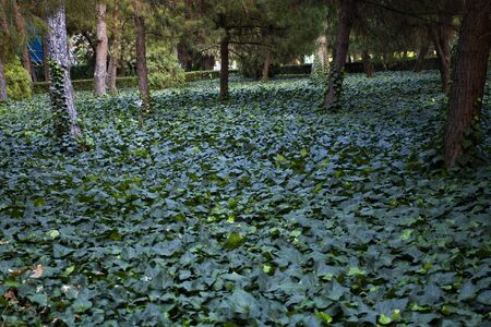 Green nature in tree grove. Ivy leaves