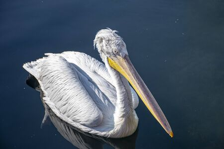Pelican front view at sea. Writing area. Background. Wallpaper.