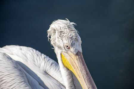 Close-up view of pelican in the sea. Writing area. Background. Wallpaper. 版權商用圖片