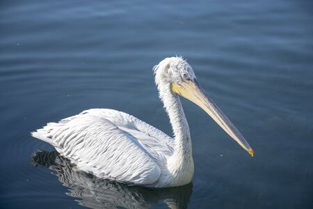 Side view of the pelican in the sea. Writing area. Background. Wallpaper. 版權商用圖片