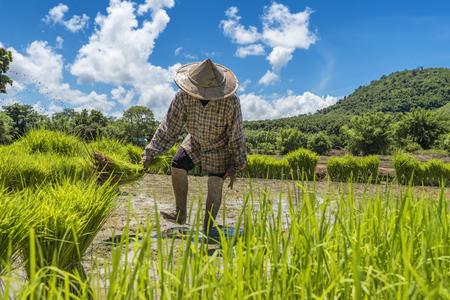 Farmers grow rice in the rainy season Stock Photo