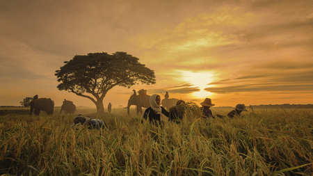 People Asian farmer harvest of the rice field in harvest season with elephant, and farmer harvests rice in field sunlight sky background, beautiful light from the sunlight. Stock Photo