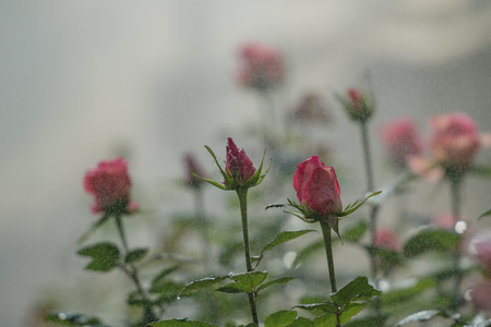 Red roses growing inside a greenhouse at the rose farm. Stock Photo