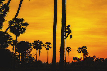 sugar palm: Sugar palm tree at sunset in Thailand,Palm sugar made from palm tree, silhouette sugar palm tree,Man with career climbing palm sugar at sunset.