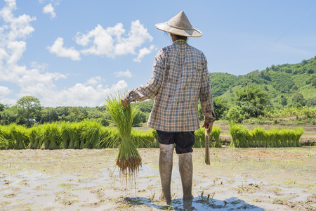Farmers grow rice in the rainy season,asian farmers grow rice in the rice field,They were soaked with water and mud to be prepared for planting,Rice field in Thailand find the central of region.