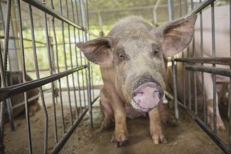 piglet on swine breeding farm,pig cute newborn standing on breeding farm,concept of biological,animal health,friendship,love of nature