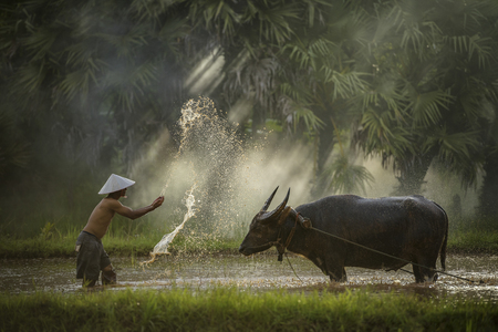 Happy farmer with a buffalo in his field, agriculture and food production concept,Farmers grow rice in the rainy season,They were soaked with water and mud to be prepared for planting