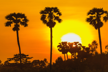 Man with career climbing palm sugar at sunset,Sugar palm tree at sunset in Thailand