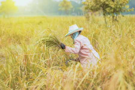 Farmers grow rice in the rainy season,asian farmers grow rice in the rice field,They were soaked with water and mud to be prepared for planting