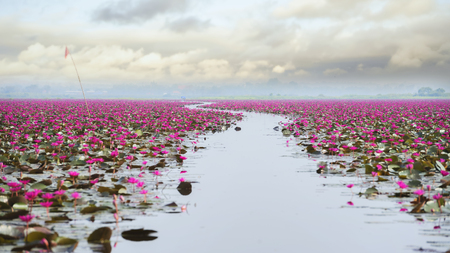 picture of beautiful lotus flower field at the red lotus sea,Udon Thani, Thailand