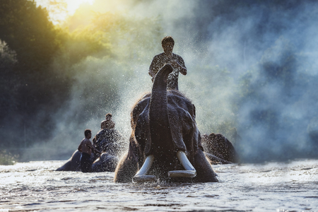 CHIANG MAI,THAILAND,elephants taking a bath with mahout,Cute asian elephant taking a bath in river,Visitors can visit nature closely in Chiang Mai Thailand. Banco de Imagens