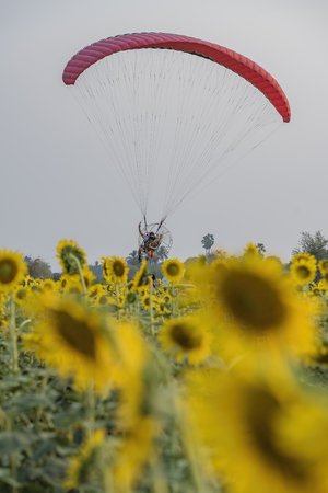 Paramotor flying on the sunflower fields .