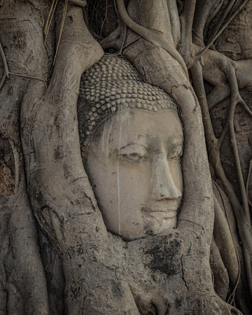 Buddha head statue in the tree roots