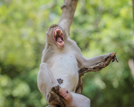 Monkey s open mouth and genitals. Stock Photo