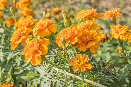 Marigold (Calendula officinalis) Standard-Bild