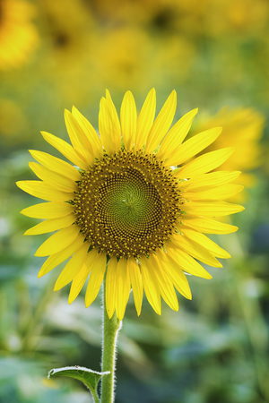 field of blooming sunflowers on a background sunset,nice and warm in summer field with blooming sunflower blossoms