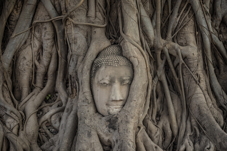 Buddhas head in tree roots. 版權商用圖片