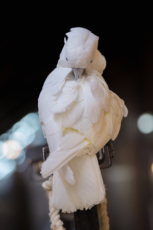 White parrot stands on a light pole in the night.