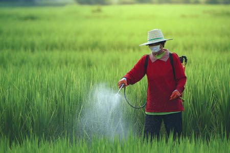 Los agricultores rocían insecticidas en el arroz con rociadores de insecticidas con protección inadecuada en los campos de arroz. El uso de plaguicidas es peligroso para la salud.