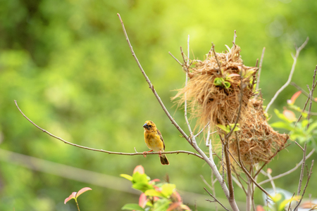 Nesting bird,Southern weaver building nest on the tree with nesting material.