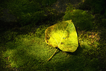 Bodhi leaf on natural background,Leaves fall to the ground,Bodhi leaf on light background with bright of sunrise,leaves in Buddhism. Stock Photo