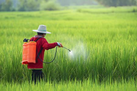 Agricoltori che spruzzano pesticidi nel campo di riso indossando indumenti protettivi, agricoltori che spruzzano pesticidi sul riso con uno spruzzatore di insetticidi con un'adeguata protezione nella risaia.