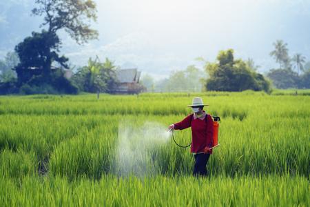 Los agricultores rocían insecticidas en el arroz con rociadores de insecticidas con protección inadecuada en los campos de arroz. El uso de plaguicidas es peligroso para la salud. Foto de archivo