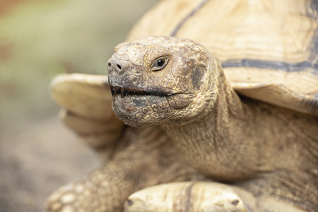 Close up sulcata tortoise,Baby spurred tortoise resting in the garden,Spurred tortoise sunbathe on ground with his protective shell. Stock Photo