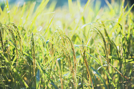 Rice from the farmers output.Close Up View of  Rice Fields.Rice field in sunset or sunlight time with sun rays. Stock Photo