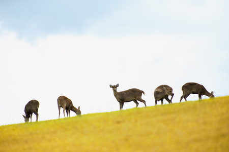 Roe deer standing in a field,Asian species of deer eating grass in a meadow on a natural hill.