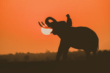 Silhouette of Asian Elephants with Sunset Background.Silhouette elephant on the background of sunset.Elephant Thai in Thailand. Фото со стока