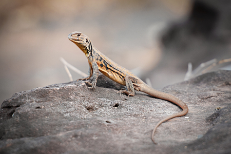 Iguana on the rock in Thailand(Thai Iguana ,Asian iguana) spotted outdoors. Asian .