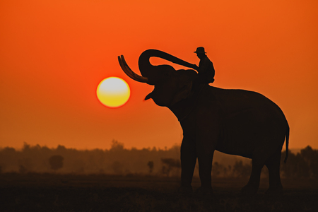Silhouette elephant on the background of sunset,elephant thai in elephant village Surin Thailand