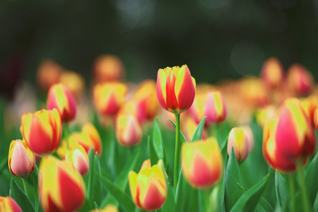 Dutch tulip bloom in spring season.Beautiful bouquet of tulips in spring at the garden.Colorful Tulip,Nature background.Floral banner for a florist shop. Фото со стока