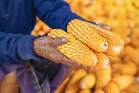 Corn or Maize for processing into fodder. Harvest maize. Corn grain. Natural food. Maize on the farmers farm after harvest.