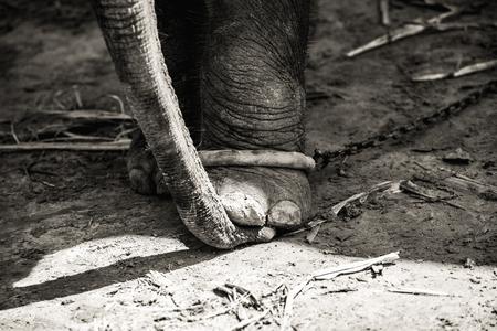 Elephant leg fetters. Asian elephant (Elephas maximus) leg with iron chain, the elephant leg hangs an heavy chain,The chains that bind elephantiasis.
