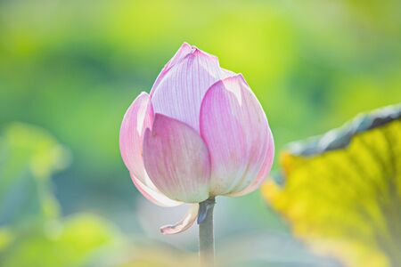 Beautiful water lily or lotus flower,The beauty of nature is built of pink lotus flowers for beautiful natural. 版權商用圖片
