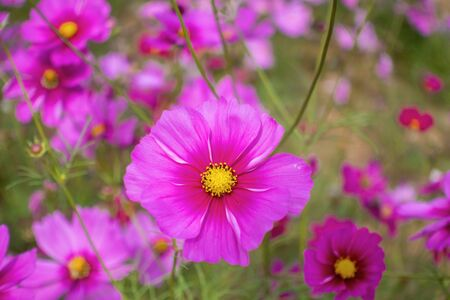 Pink cosmos flower blooming in the field. Colorful Cosmos Flower Garden Blooming in Spring Season.