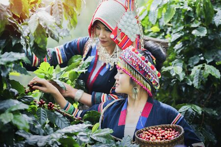 Tribal women check the quality of coffee in coffee plantations. Hilltribes harvest coffee in northern Thailand. Stok Fotoğraf