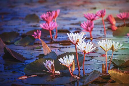 Beautiful pink and white water lily or lotus flower in pond with soft sunlight.