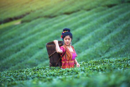 Tea worker picking tea leaves in a tea plantation. Tribal women working in the lush fields of a terraced farm.