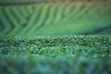Green tea bud and fresh leaves. Green fresh nature background from tea leaves.Tea plantations. Stock fotó