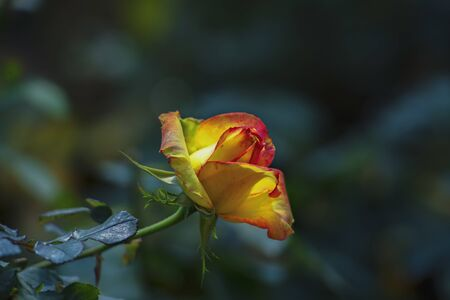 Delightful blooming yellow rose on bush on dark background.