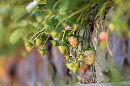 Strawberries growing on the ground in  garden.Fresh organic strawberry on bush with green leaves growing in the garden,Organic strawberries. Natural background. Agriculture, healthy food concept. Stok Fotoğraf