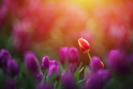 Tulip flowers meadow,Colorful tulips in the flower garden. Spring nature flower background for web banner and card design. Stok Fotoğraf