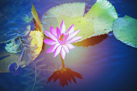 Beautiful pink water lily or lotus flower in pond with soft sunlight.