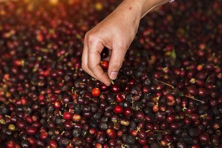 Coffee selection, Selecting bad coffee seeds from group by hands.  Coffee farmer selecting picking fresh red ripen arabica coffee at plantation.