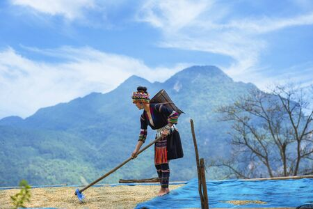 Hill tribe coffee, The traditional tribe dries the coffee with the sun until it is dry after harvesting the coffee planted on the hill. Akha hill picking arabica coffee berries at plantation.