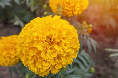 Marigold in bloom, Orange yellow bunch of flowers with green leaves.
