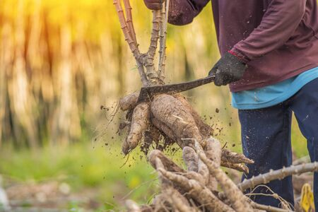 Agriculture is harvesting tapioca from cassava farms. Large cassava roots. Harvest or dig Root. Cassava planting area of Thai farmers in rural areas.